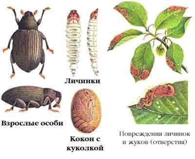 Долгоносик-прыгун буковый — Rhynchaenus fagi (L.)