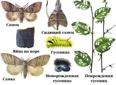 Краснохвост — Dasychira pudibunda (L.)