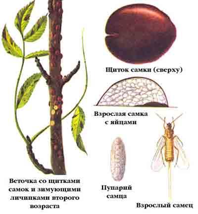 Ложнощитовка акациевая — Parthenolecanium comi (Вouche)