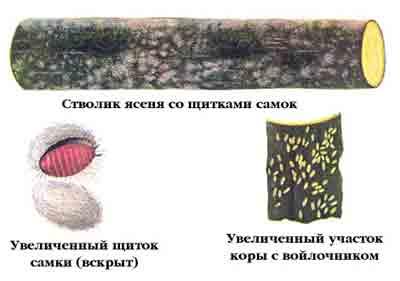 Войлочник ясеневый - Fonscolombea fraxini (Кalt.)