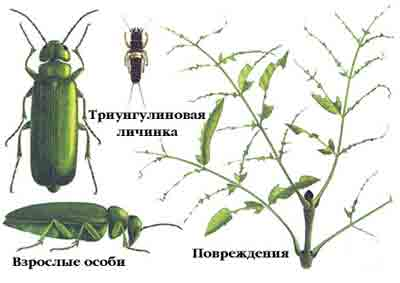 Шпанка ясеневая — Lytta vesicatoria (L.)