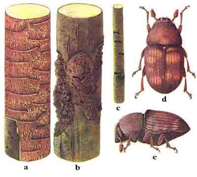 Лубоед пестрый ясеневый — Hylesinus fraxini (Рanz.)