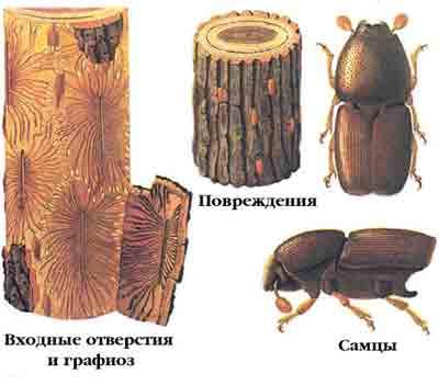 Заболонник струйчатый — Scolytus multistriatus Мarsch.