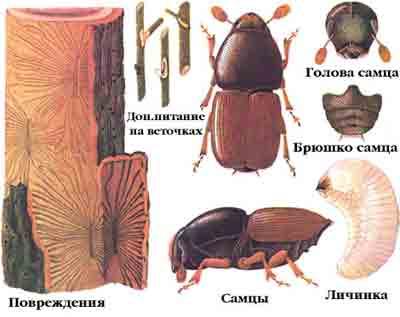 Заболонник большой ильмовый — Scolytus scolytus Fabr.
