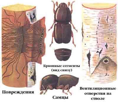 Заболонник березовый — Scolytus ratzeburgi Jans.
