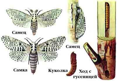 Древесница въедливая — Zeuzera pyrina (L.)