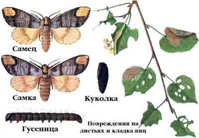 Лунка серебристая — Phalera bucephala (L.)