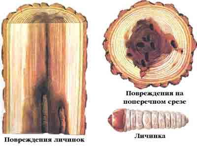 Скрипун большой осиновый — Saperda carcharias (L.)