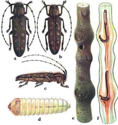 Скрипун малый осиновый — Saperda populnea (L.)