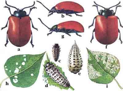 Листоед тополевый — Melasoma populi (L.); Листоед краснокрылый осиновый — Melasoma tremulae (Fabr.)