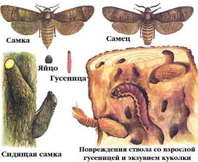 Древоточец ивовый — Cossus cossus (L.)