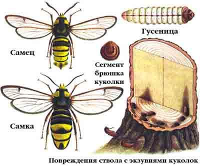 Стеклянница большая тополевая — Aegeria apiformis (Сl.)