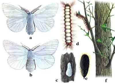 Волнянка ивовая — Stilpnotia salicis (L.)