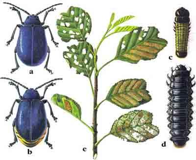 Листоед ольховый — Agelastica alni (L.)