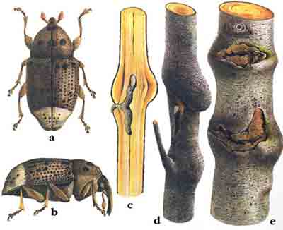 Скрытохоботник ольховый — Cryptorrhynchidius lapathi (L.)