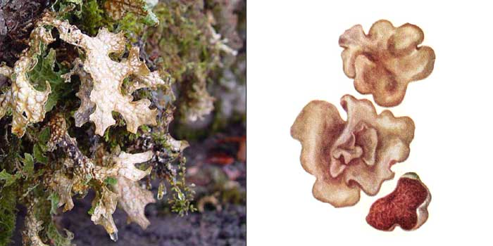 Дерматокарпон красноватый — Dermatocarpon miniatum