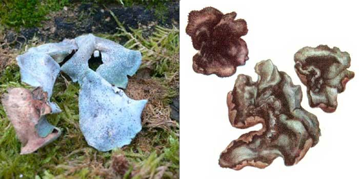 Дерматокарпон водный, или речной — Dermatocarpon aquaticum
