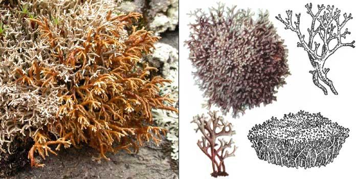 Сферофорус ломкий — Sphaerophorus fragilis