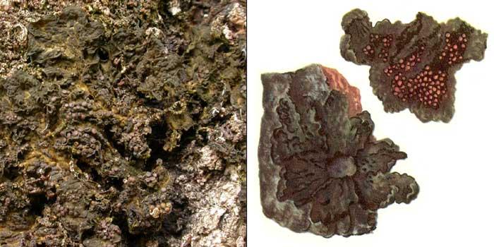 Коллема черноватая — Collema nigrescens