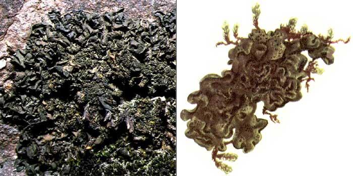 Коллема скальная — Collema flaccidum