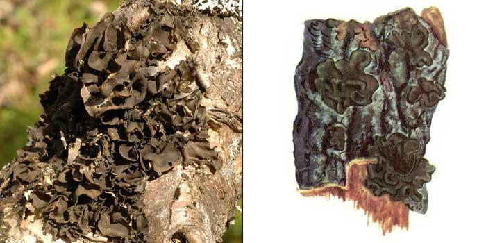 Лептогиум свинцовый — Leptogium saturninum