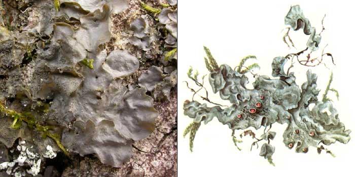 Лептогиум голубовато-серый — Leptogium cyanescens