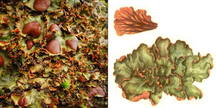 Солорина шафранная — Solorina crocea