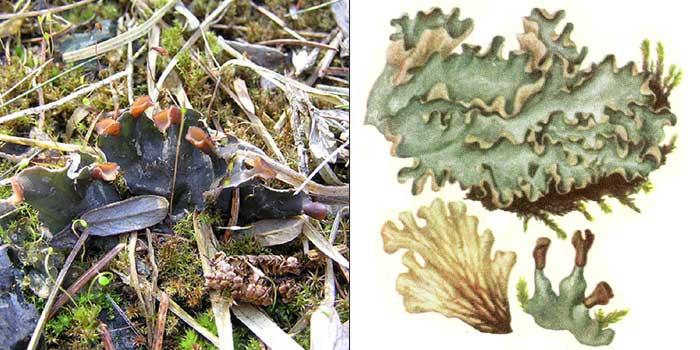 Пельтигера ложная — Peltigera spuria
