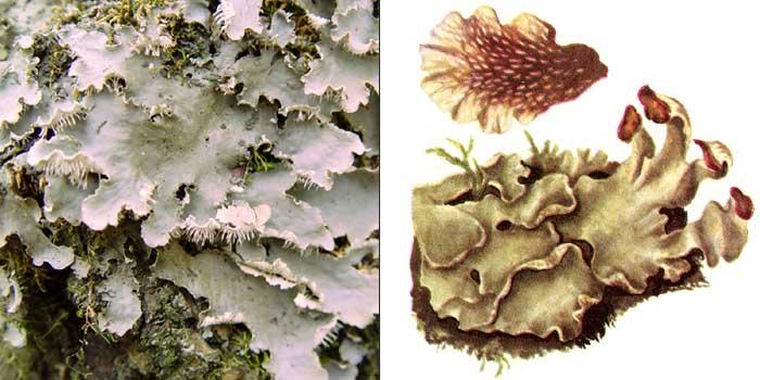 Пельтигера мягкая — Peltigera malacea