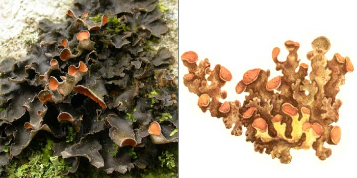 Нефрома перевернутая — Nephroma esupinatum