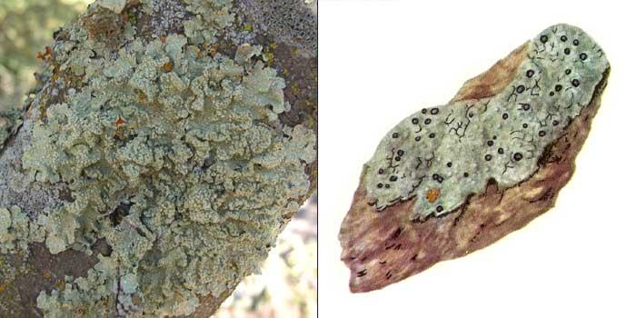 Лецидея соредиозная — Lecidea sorediza