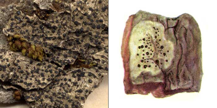 Лецидея скученная — Lecidea glomerulosa