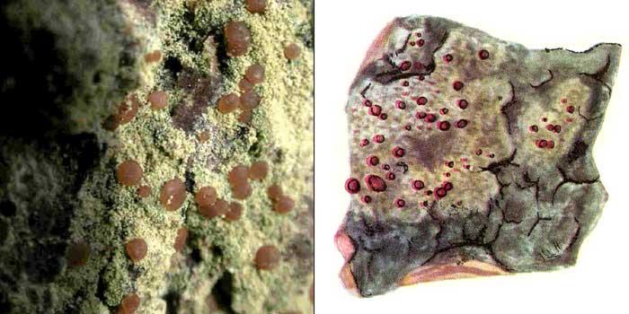 Бацидия желтоватая — Bacidia rubella