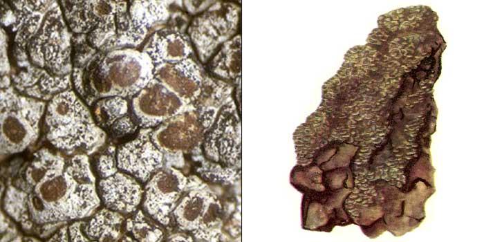 Псора устричная — Psora ostreata
