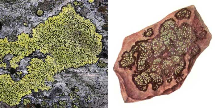 Ризокарпон географический — Rhizocarpon geographicum
