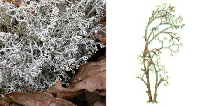 Кладония оленья — Cladonia rangiferina