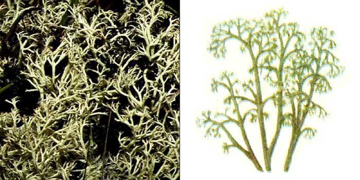Кладония лесная — Cladonia sylvatica