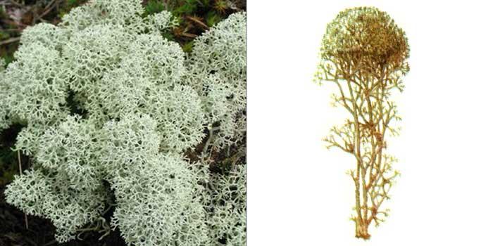 Кладония приальпийская — Cladonia alpestris