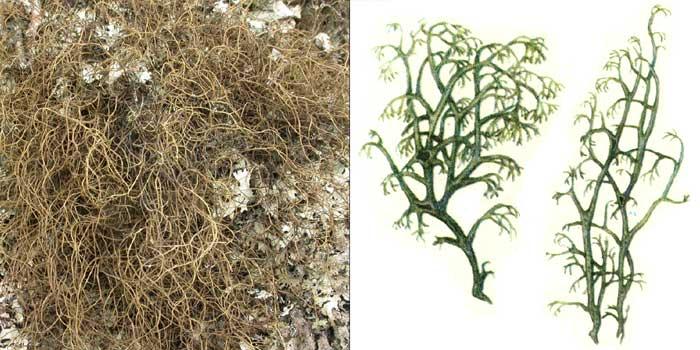 Кладония тонкая — Cladonia tenuis