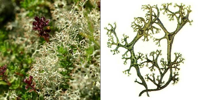 Кладония неприглаженная — Cladonia impexa