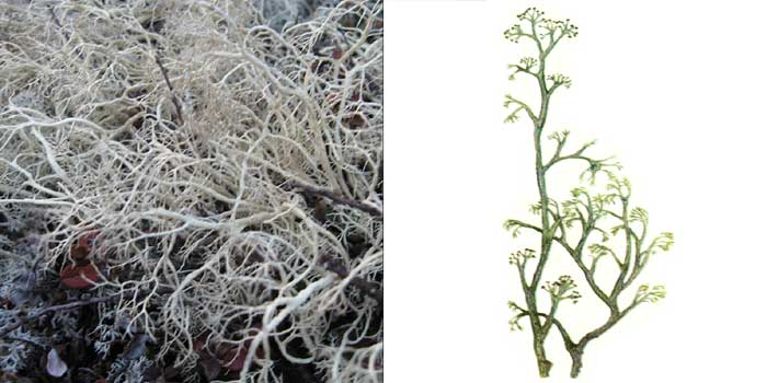 Кладония мягкая — Cladonia mitis