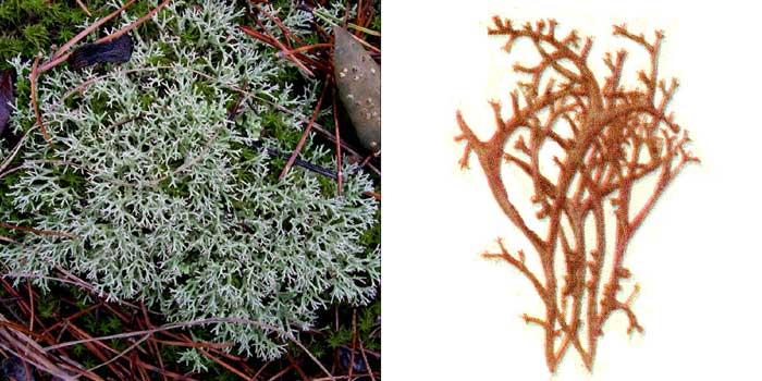 Кладония оленевидная — Cladonia rangiformis