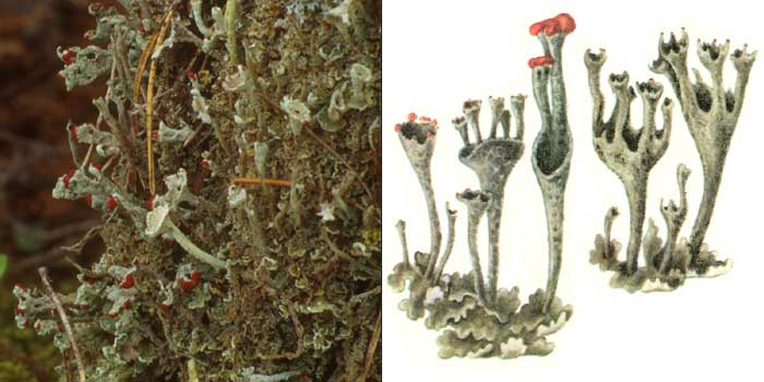 Кладония пальчатая — Cladonia digitata