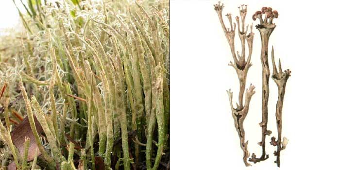 Кладония роговидная — Cladonia cornuta
