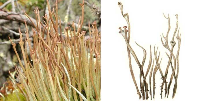 Кладония стройная — Cladonia gracilis