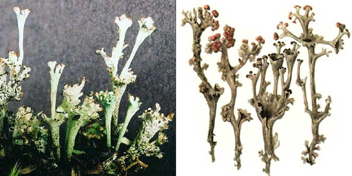 Кладония вырождающаяся — Cladonia degenerans