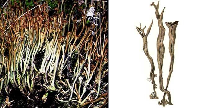 Кладония удлиненная — Cladonia elongata