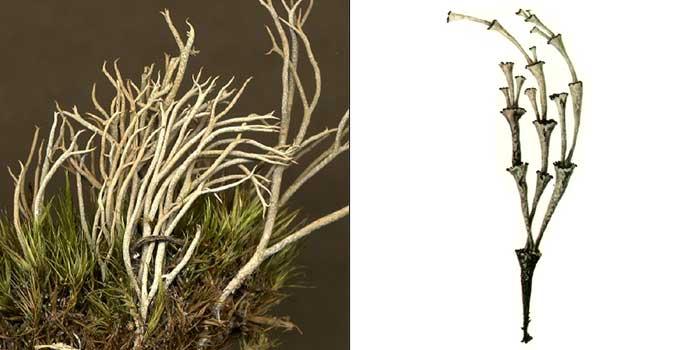 Кладония стройненькая — Cladonia gracilescens