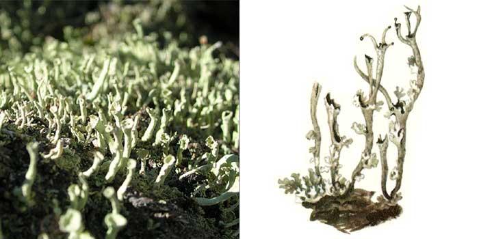 Кладония нитевидная — Cladonia nеmохуnа