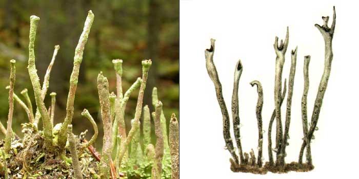 Кладония желто-зеленая — Cladonia ochrochlora